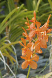 Orange Ascocentrum Miniatum orchid Royaltyfri Foto