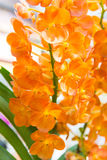 Orange Ascocentrum orchid Royalty Free Stock Images