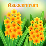 Orange Ascocentrum orchid flowers with green leaves and place for your text. Vector Stock Photos