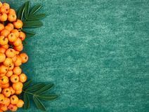 Orange ash berries on green textured background. Autumn concept, copy space, flat lay, top view stock image