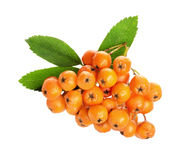 Orange ashberry isolated on the white background Royalty Free Stock Photo
