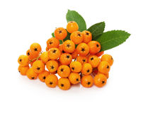 Orange ashberry isolated on the white background.  Royalty Free Stock Image