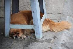 Orange Asian Dog is sleeping stock image
