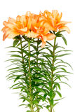 Orange asian lilies Royalty Free Stock Photo