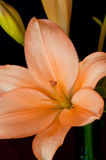Orange Asiatic Lily Stock Photo