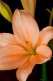 Orange asiatische Lilie stockfoto