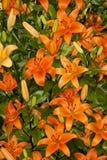 Orange asiatische Lilien Stockbilder