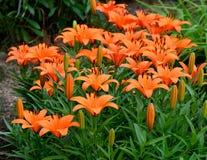 Orange asiatische Lilien im Garten Stockfotografie