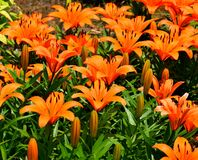 Orange asiatiska liljor Arkivbild