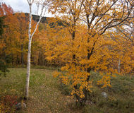 Orange Aspen and Birch in Autumn. An orange quaking aspen tree and a white birch in autumn.  White Mountains of New Hampshire Stock Images