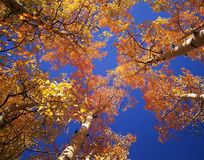 Orange Aspen Canopy. Looking up at a canopy of orange leaves, formed by aspen trees, in the Arapaho National Forest, of Colorado, during the autumn season Stock Photography
