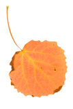 Orange aspen leaf Royalty Free Stock Images