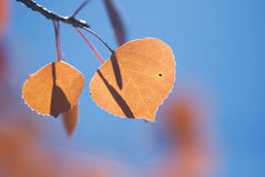 Orange Aspen Leaves Against Blue Sky. Orange aspen leaves stand out against a blue sky on a beautiful autumn afternoon in the Colorado Rocky Mountains stock photography