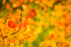 Orange Aspen Leaves. Aspen leaves in the fall with a blurred orange and green background Royalty Free Stock Photography
