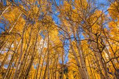 Orange Aspen Trees Royalty Free Stock Image