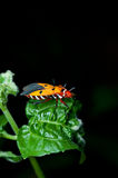 Orange assassin bug Stock Images