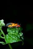 Orange assassin bug. On a green leaf Stock Images