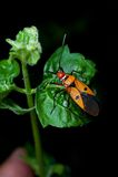 Orange assassin bug. On a green leaf Royalty Free Stock Images
