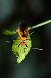 Orange assassin bug Stock Photography
