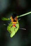 Orange assassin bug. On a green leaf Stock Photography