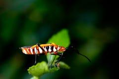 Orange assassin bug. On a green leaf Royalty Free Stock Image