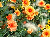 Orange aster Royalty Free Stock Photos