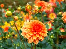 Orange aster Royalty Free Stock Images
