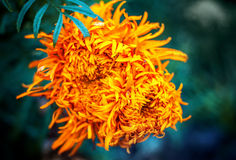 Orange Aster flower Royalty Free Stock Photography