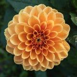 Orange aster flower Royalty Free Stock Image