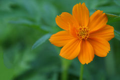 Orange Aster flower in a garden Royalty Free Stock Image