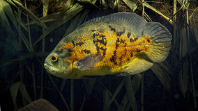 Orange Astronot fish Royalty Free Stock Images