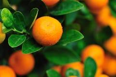 Orange auf Baum Lizenzfreie Stockfotografie