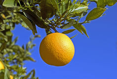 Orange auf Baum Stockbild