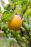 Orange auf einem Baum in einem Garten Lizenzfreies Stockbild
