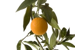 Orange auf vertikalem Zweig stockfoto