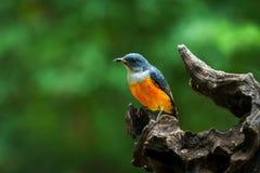 Orange-aufgeblähter Flowerpecker-Vogel in Thailand Stockfoto