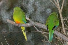 Orange-aufgeblähter Papagei Neophema Chrysogaster - Paar lizenzfreies stockbild
