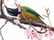 Orange aufgeblähtes Leafbird auf Niederlassung Stockbilder