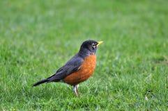 Orange-aufgeblähter schwarzer Vogel auf dem Rasen Lizenzfreie Stockbilder