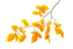 Orange autumn branch isolated stock images
