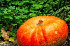Orange Autumn Fall Pumpkin auf grünem Gras draußen bewirtschaften Tageszeit Stockfotografie
