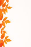 Orange autumn fallen leaves on white background Royalty Free Stock Photo