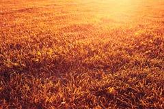 Orange autumn grass texture Stock Photography