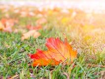 Orange autumn leaf on green grass close up. Autumn background stock photos