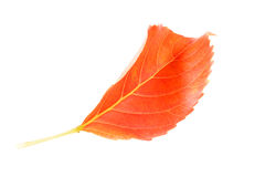 Orange autumn leaf isolate on white Stock Images