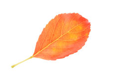 Orange autumn leaf isolate on white Stock Photography