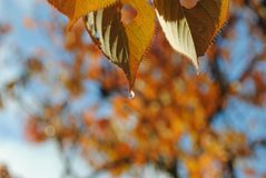 An orange Autumn leaf with a water drop. After the rain, golden and orange Autumn leaves with water droplets reflect the sun. In the background is blue sky and Stock Photo