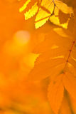 Orange autumn leaves Royalty Free Stock Image