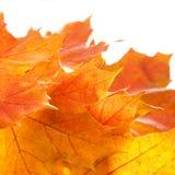 Orange autumn leaves Stock Images