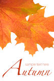 Orange autumn leaves Royalty Free Stock Photos